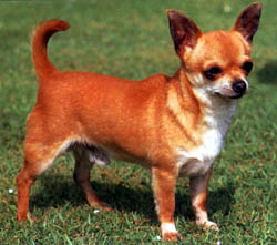 chihuahua_smooth