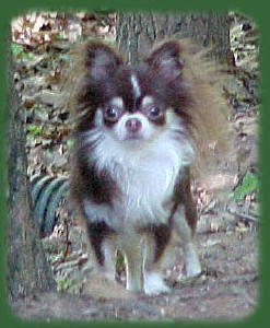 Long haired Chihuahua, picture from: http://www.chi-mountain.com/