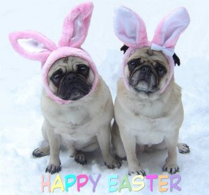 pic from: http://www.fanpop.com/clubs/puppies/images/33876604/title/cute-pug-easter-bunnies-photo
